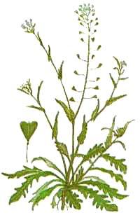 Пастушья сумка обыкновенная - Capsella bursa-pastoris (i..) Medik.